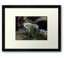 Marine Iguana In The Galapagos Islands Of Ecuador Framed Print