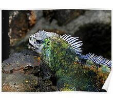 Marine Iguana In The Galapagos Islands Of Ecuador Poster