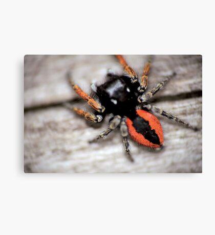 Orange mini spider © PH. Max Facchinetti  Canvas Print