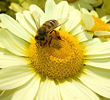Honey Bee on Flower by Kawka