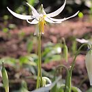 Pristine Wild Lily by Pat Yager