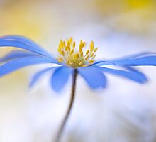 Spring Anemone by Mandy Disher