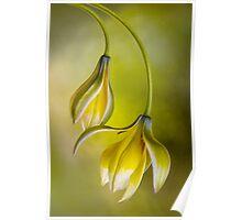 Tulipa Poster