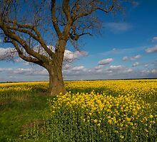 Tree in a field of rape. by naranzaria