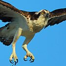 Osprey-Up close and personal !! by jozi1
