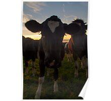 Bovine Sunset Poster