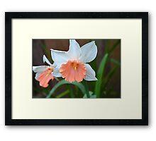 Pink Skirt Daffodil Framed Print