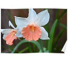 Pink Skirt Daffodil Poster