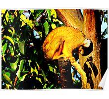 Bending Squirrel Monkey Poster