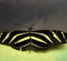 Zebra Longwing (Heliconius charithonia) by RickVink