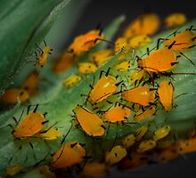 Aphids Illuminated by Symbiosis - Justin Brosey
