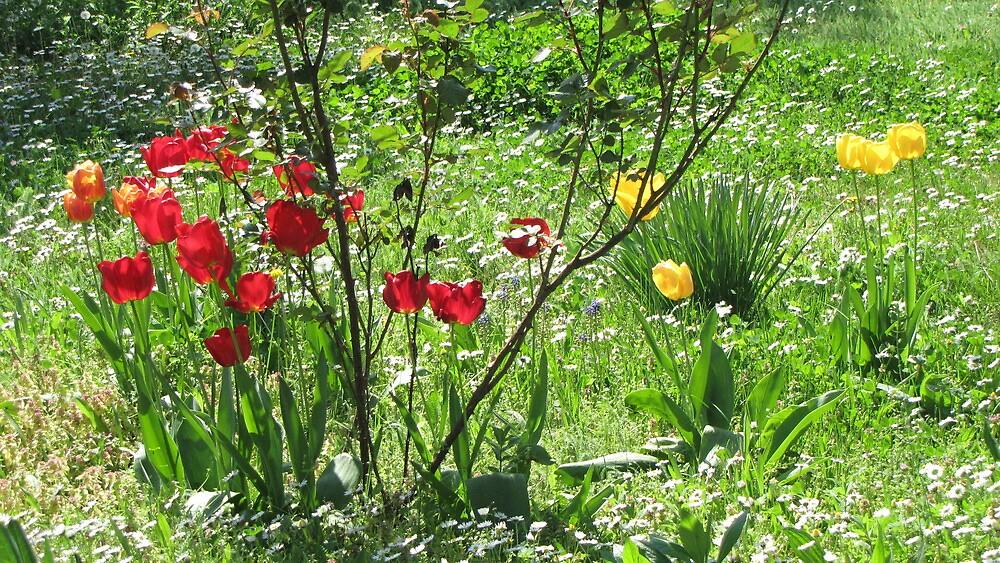 Tulips In My Yard by branko stanic
