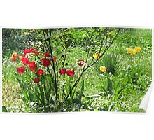 Tulips In My Yard Poster