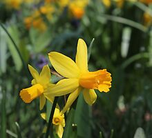 Daffodil by Kelly Morris