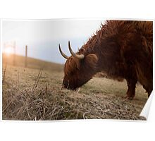 highland cow, isle of lewis Poster