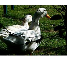 DUCKS IN SOFT LIGHT Photographic Print