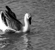 CHINESE SWAN GOOSE IN GREY SCALE by Sandra  Aguirre