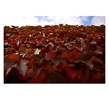 Red leaves of autumn  Photographic Print