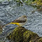Grey Wagtail 3 by VoluntaryRanger