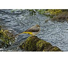 Grey Wagtail 3 Photographic Print