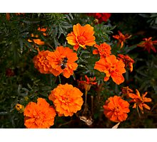 :) Orange flowers and bee  Photographic Print
