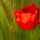 Poppies by kumari