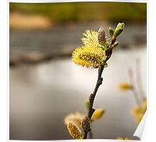 Pussy Willow buds Poster