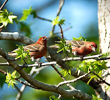 2 Male Purple Finches by imagetj