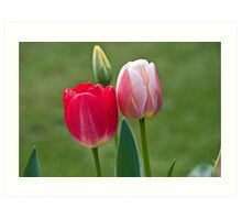 Red and Pink Tulips Art Print