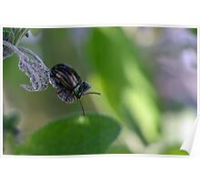 Rosemary Leaf Beetle - Chrysolina americana Poster