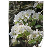Pear Blossom on a Spring Day Poster