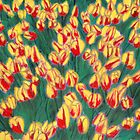 Dutch Tulips in Pastel by victorgroza
