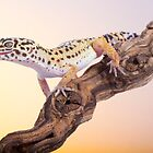 Leopard gecko by AngiNelson