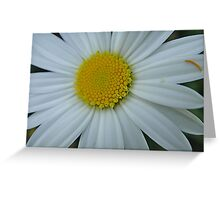 Pretty white and yellow chrysanthemum Greeting Card