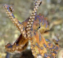 Blue Ringed Octopus by njmpm