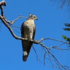 Pacific Baza by JLOPhotography