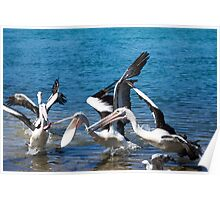 pelicans feeding Poster