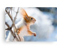 Red Squirrel 6 Canvas Print
