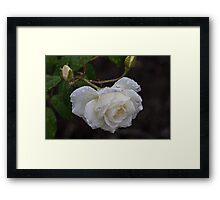 White Rose With Raindrops Framed Print