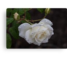White Rose With Raindrops Canvas Print