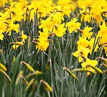 Field of dafodills by LemonMeringue