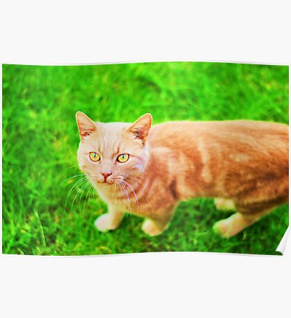 Handsome Ginger cat on the grass Poster