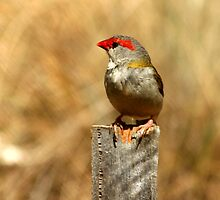 Red-browed Finch by Emmy Silvius