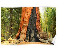 Giant Sequoia - Sequoia National Park Poster