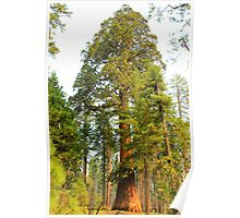 Giant Sequoia - Full View - Sequoia National Park Poster