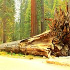 Fallen Giant Sequoia Tree and Roots - Sequoia National Park by Honor Kyne