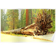 Fallen Giant Sequoia Tree and Roots - Sequoia National Park Poster