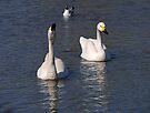 A pair of Bewick swans (Cygnus columbianus) by buttonpresser