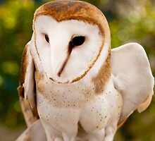 Barn Owl by damhotpepper
