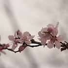 Cherry Blossoms by elasita